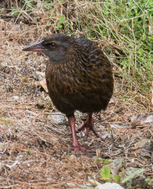 Weka am Heaphy Track